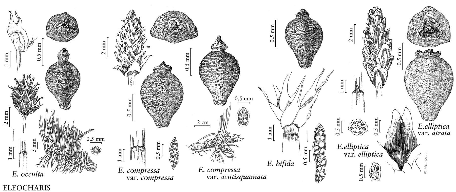 Eleocharis Elliptica Taxon Eleocharis elliptica
