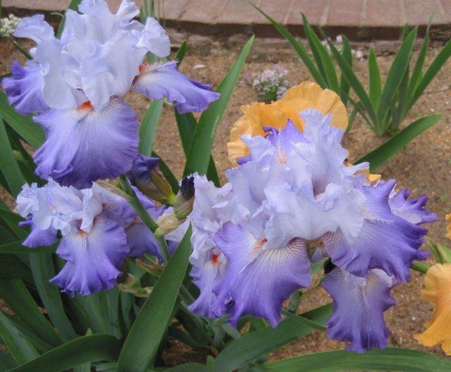 خانواده Iridaceae  زنبق