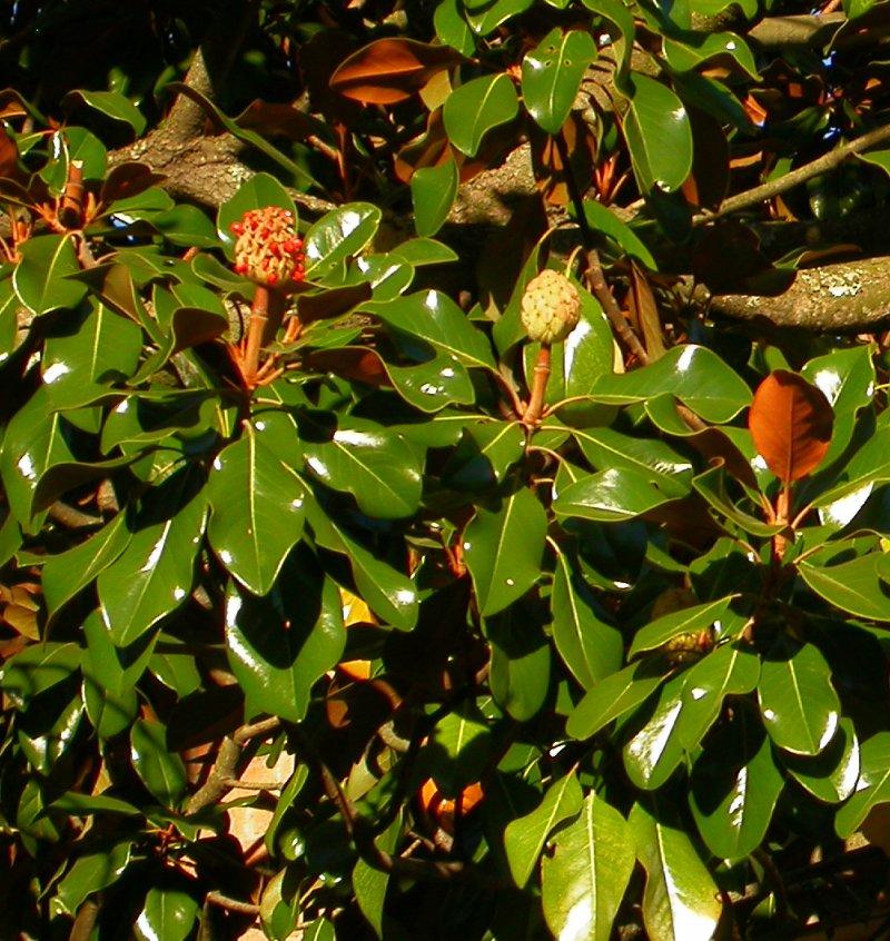 index of   floradata  1001  images  magnoliaceae