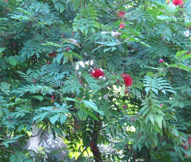 http://flora.huh.harvard.edu/FloraData/1001/Images/Mimosaceae/Mimosaceae-Calliandra%20haematocephala-001.jpg