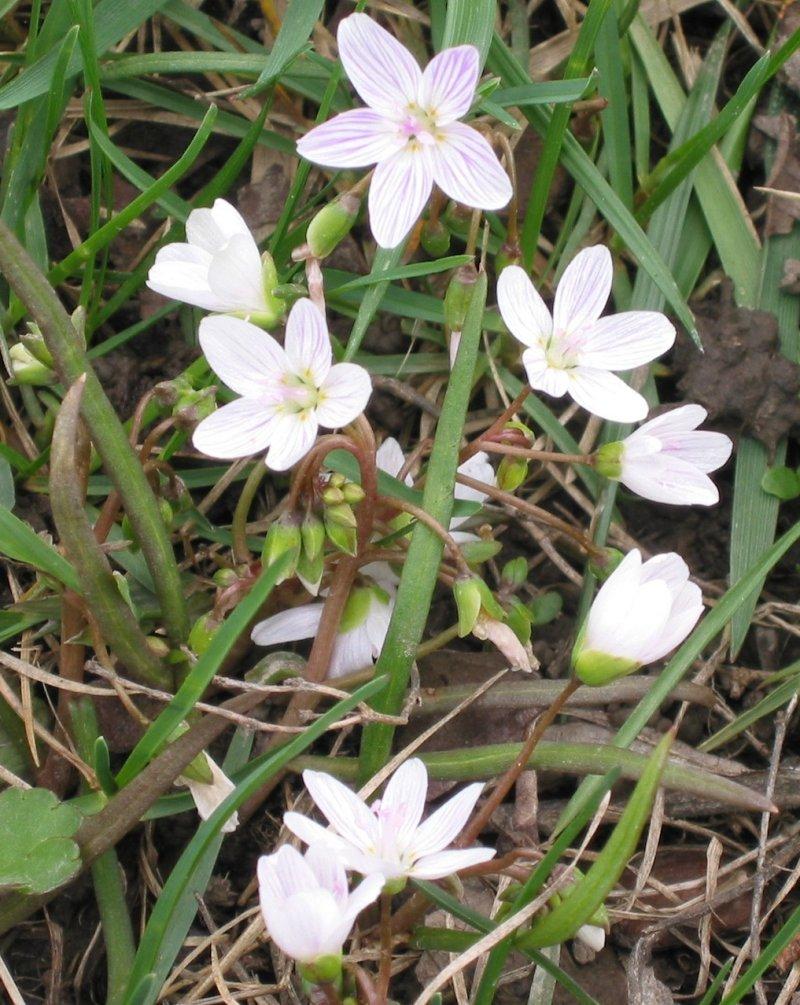Index of /FloraData/1001/Images/Portulacaceae