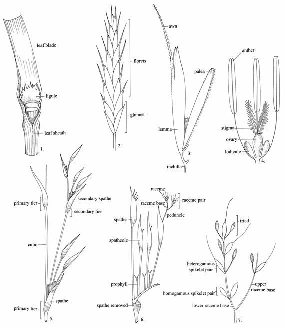 Glossary of botanical terms used in the poaceae parts of a typical grass based on bromus 1 portion of leaf 2 spikelet 3 floret 4 flower 5 7 compound panicle and raceme pair structure in ccuart Image collections